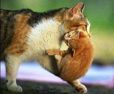Mother carrying kitten