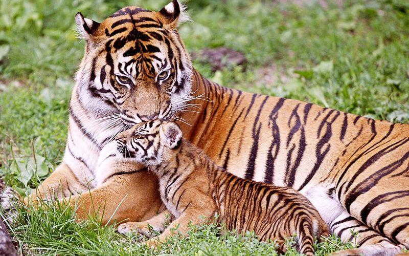 Tiger-kissing-baby-tiger-mother-love